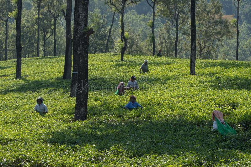 Indian Tea Tribe at work in Tamil Nadu. Valparai, India - March 6, 2018: Workers, locally known as members of a Tea Tribe, picking tea on a hill station estate stock image