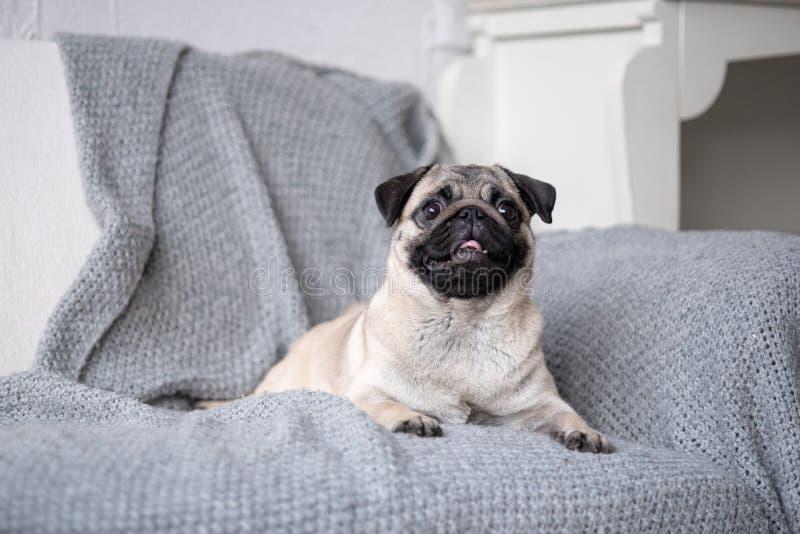 Valpavelmops som ligger på soffan fotografering för bildbyråer