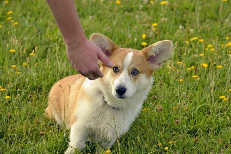 ValpCorgipembroke på en gå Ung driftig hund på en gå Valputbildning, cynology, intensiv utbildning av ung hundkapplöpning gå arkivfoton