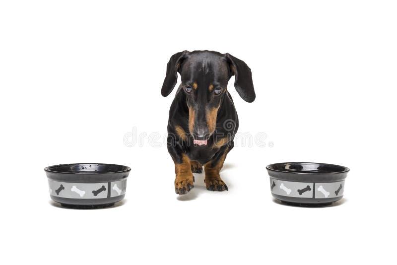 Valpen av aveltaxen, svart och solbränt, går aningen mellan två tomma bunkar som isoleras på vit bakgrund mat behöver av en hund arkivfoton