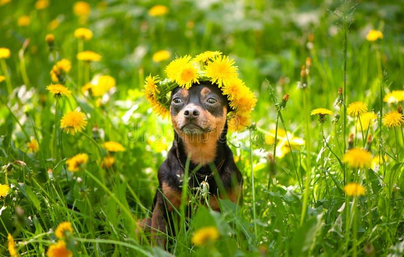 Valpen för Ð-¡ ute, en hund i en krans av våren blommar på en blomning royaltyfri bild