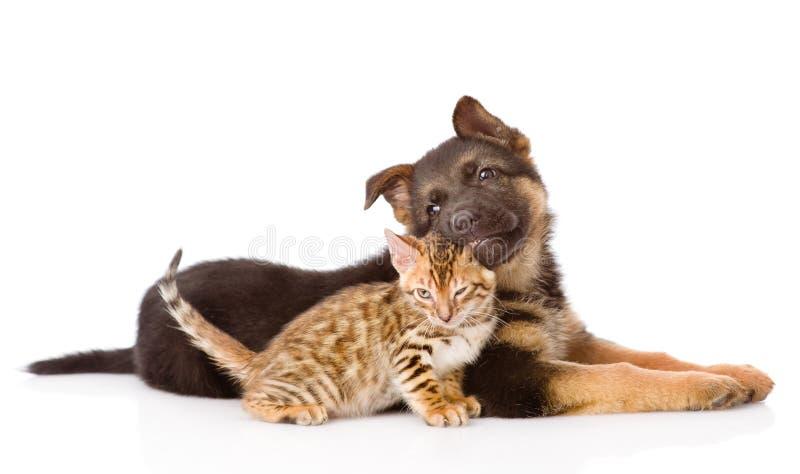 Valphund för tysk herde som biter den bengal katten Isolerat på vit arkivfoton