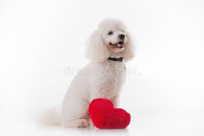 Valphund med en röd hjärta royaltyfria bilder