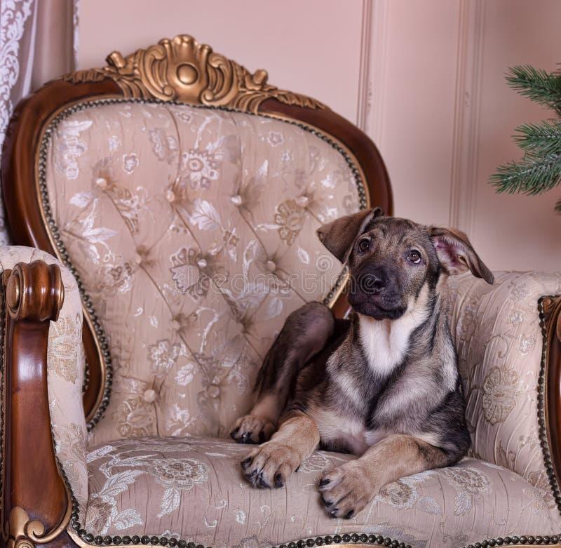 Valphund på soffan royaltyfri fotografi