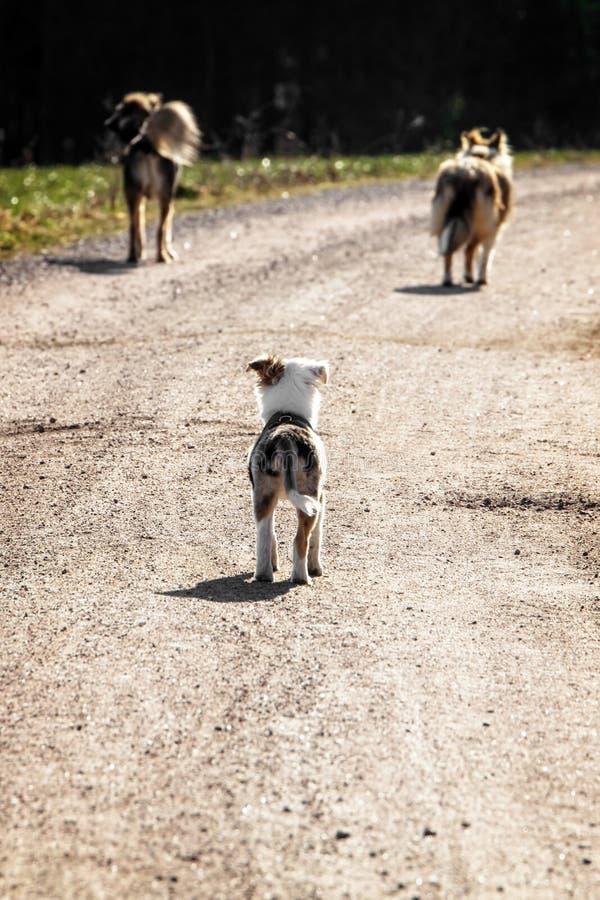 Valphund som sköter vuxen hundkapplöpning, socialization och hundlydnad royaltyfri bild