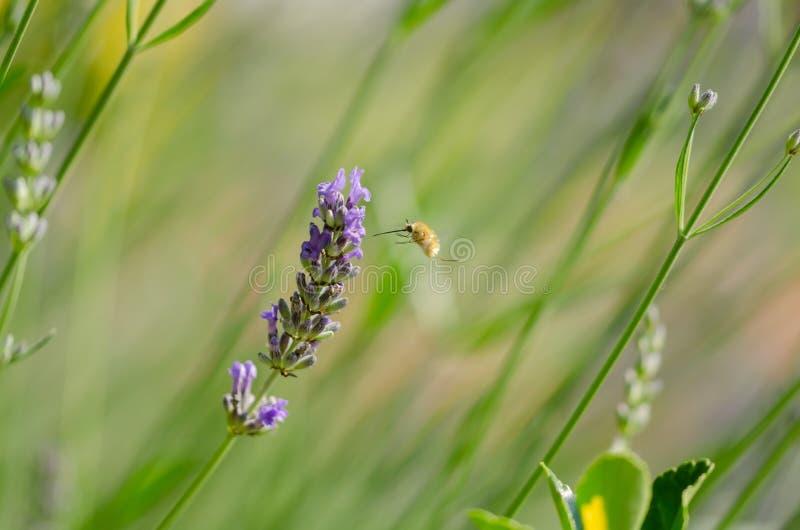 Valpkolibrihök-mal som svävar över en lavendelblomma, M arkivfoto