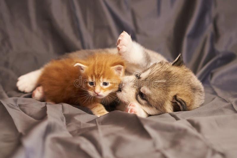 ValpMalamute och den lilla orange kattungen Maine Coon, gulligt ligga på grå bakgrund arkivfoto