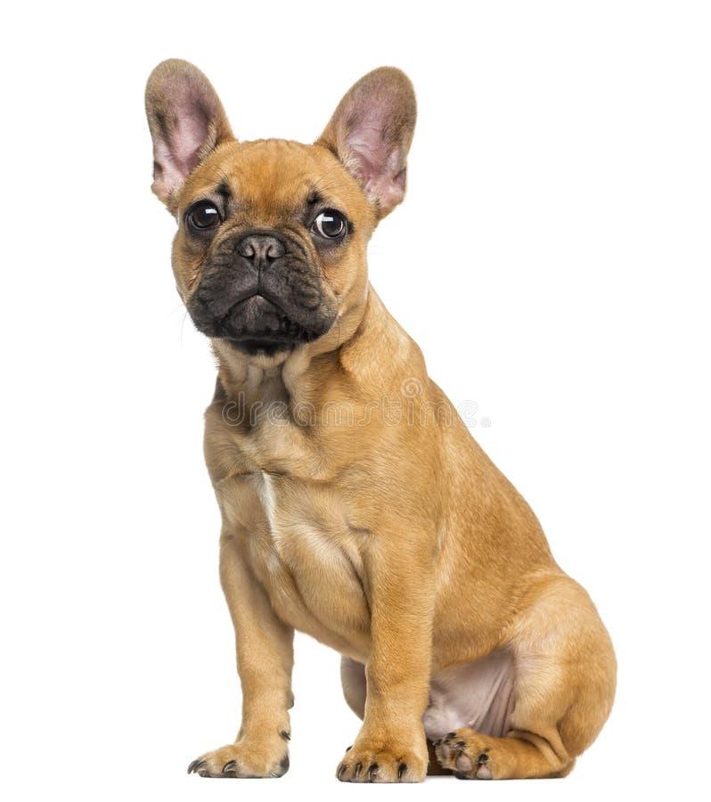 Valpsammanträde för fransk bulldogg och stirra, 4 gamla månader arkivbild