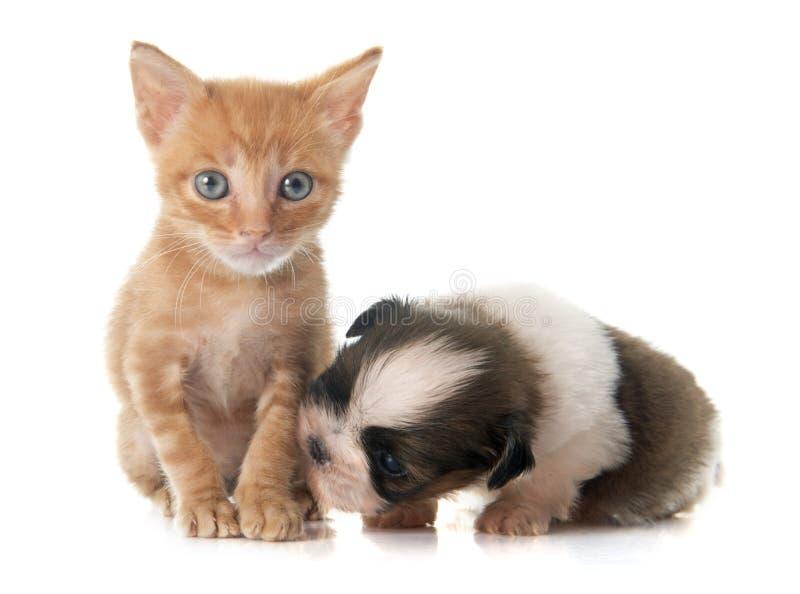 Valpshitzu och kattunge royaltyfri bild