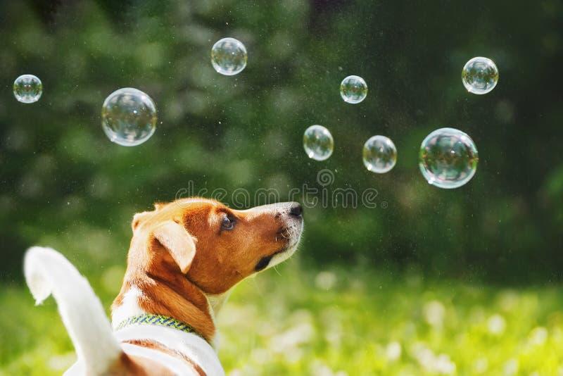 Valpstålar russell som spelar med såpbubblor royaltyfri fotografi
