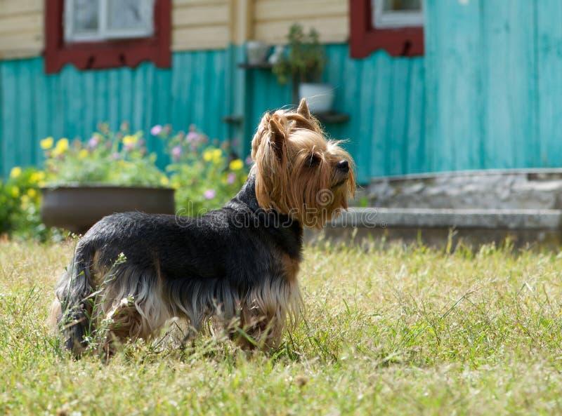 Valpyorkshire terrier på bakgrunden för grönt gräs, gullig Yorkshire Terrier hund som spelar i gården, bakgrund för grönt gräs royaltyfri bild