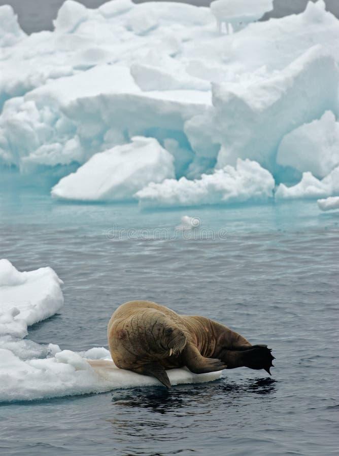 Valross valross, Odobenusrosmarus, fotografering för bildbyråer
