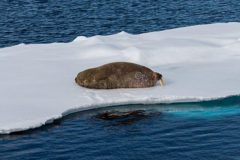 Valross på is arkivbild