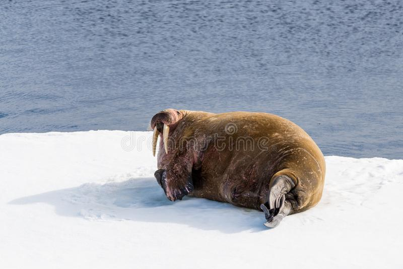 Valross på is arkivfoto