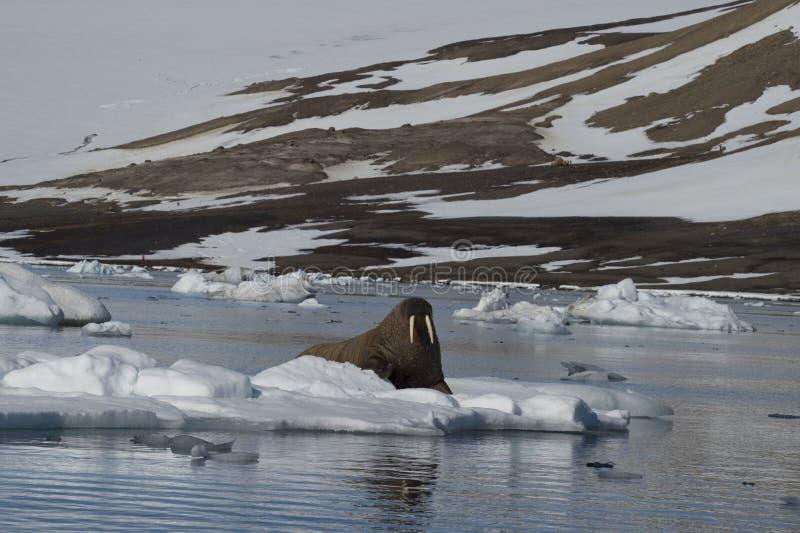 Valross på isflöde fotografering för bildbyråer
