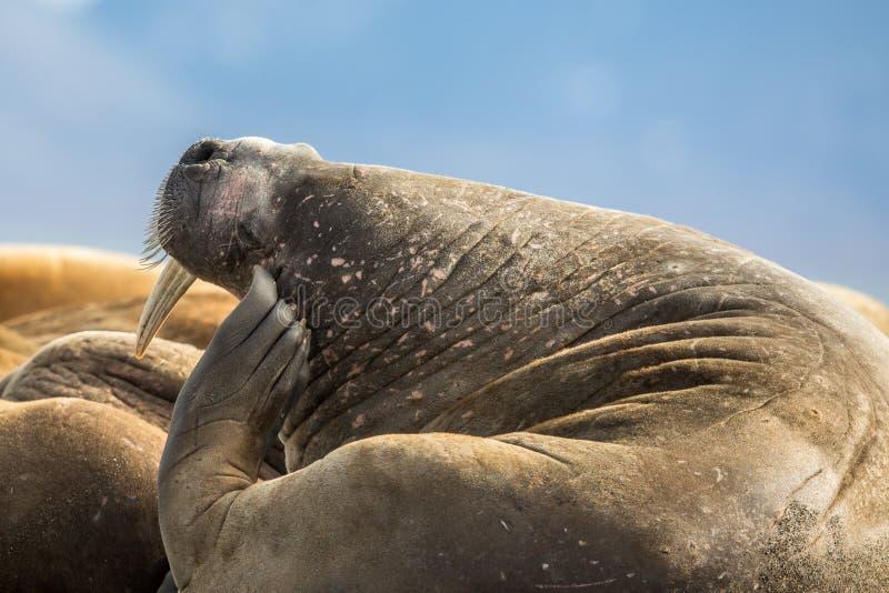 Valross som skrapar hans huvud i en grupp av valrossar på Prins Karls Forland, Svalbard royaltyfri bild