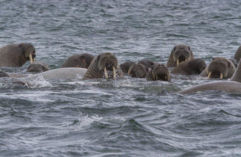 Valrossar i ett vatten i Svalbard arkivfoto