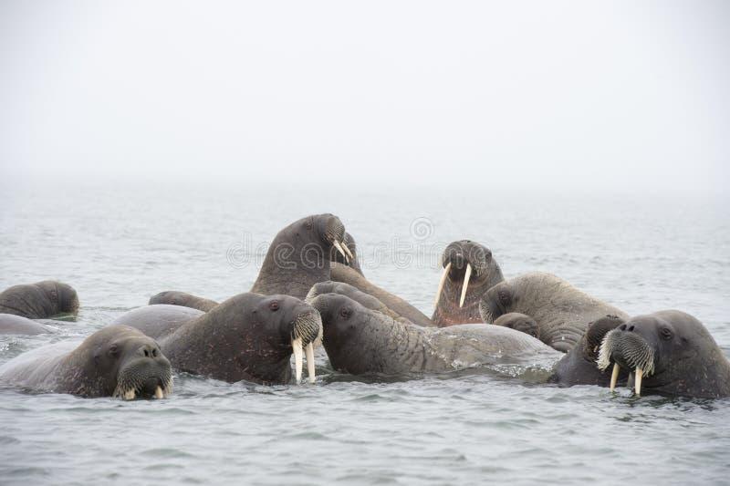 Valrossar i vattnet arkivfoton