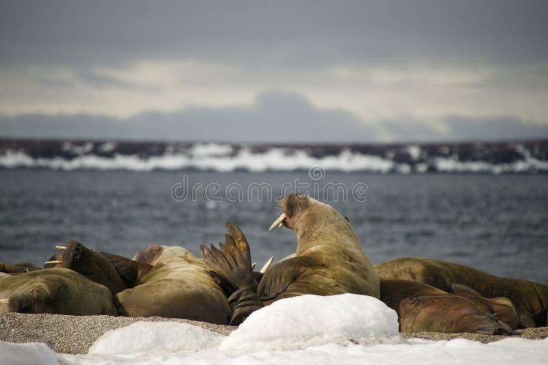 Valrossar med jätte- beten på den arktiska transportsträckan-ut royaltyfri bild