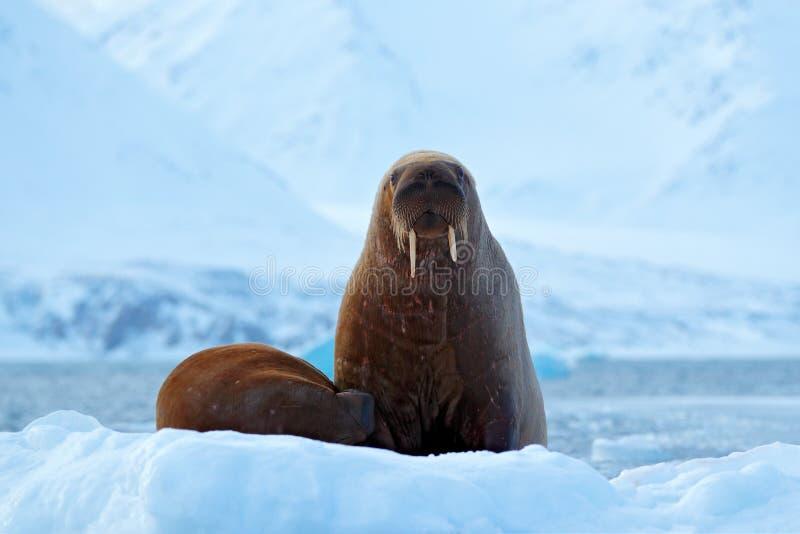 Valrossen Odobenusrosmarus, klibbar ut från blått vatten på vit is med snö, Svalbard, Norge Moder med gröngölingen Ung valross me royaltyfria foton
