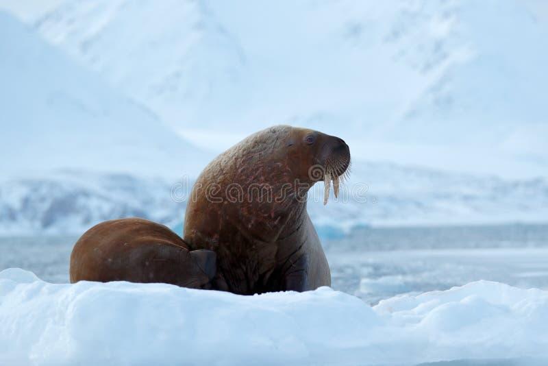 Valrossen Odobenusrosmarus, klibbar ut från blått vatten på vit is med snö, Svalbard, Norge Moder med gröngölingen Ung valross me arkivbilder