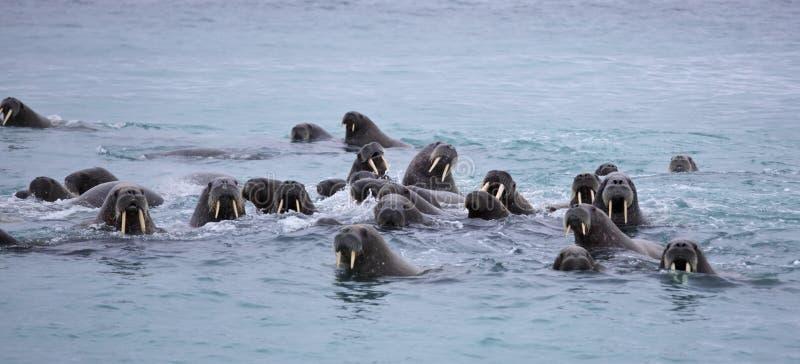 Valrossfamilj i havet arkivbild