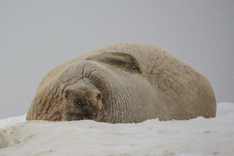 Valrosskoloni - Hamburg Bukta - Spitsbergen royaltyfri bild