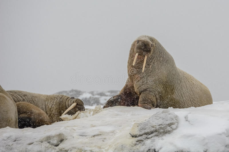 Valrosskoloni - Hamburg Bukta - Spitsbergen arkivbilder