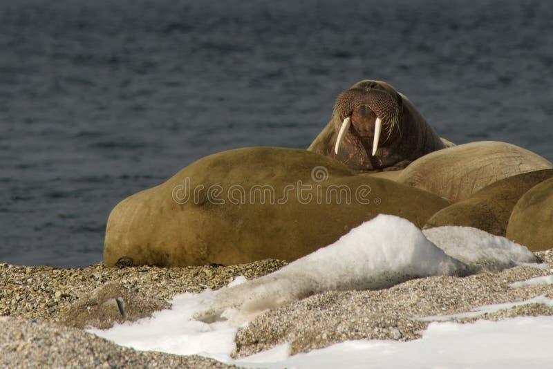 Valrossvisningbeten på den snöig arktiska stranden arkivbild