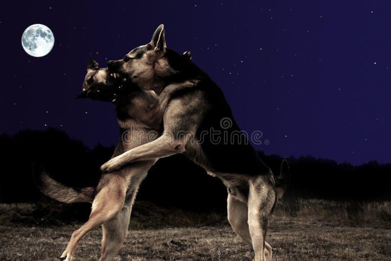 Valsa dos cães fotografia de stock