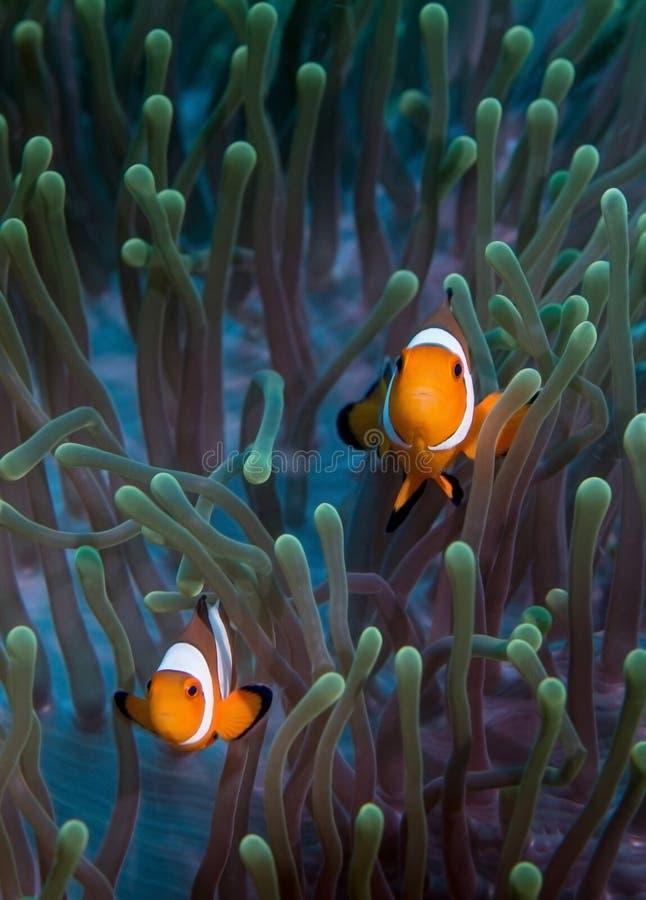 Valse Clownfish op Anemoon stock afbeeldingen