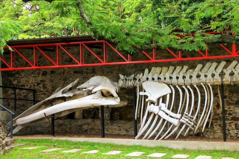 Valskelett på skärm på paleontologimuseet i Colonia del royaltyfri foto