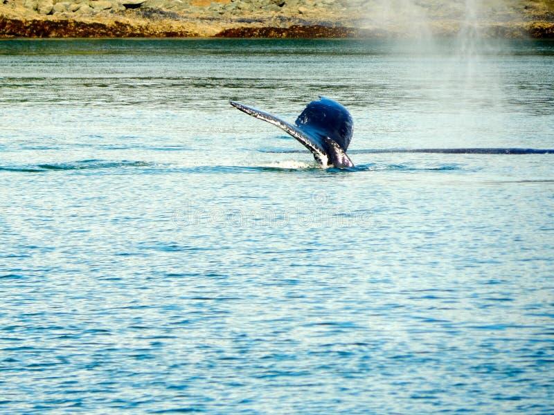 Valsvans fotografering för bildbyråer