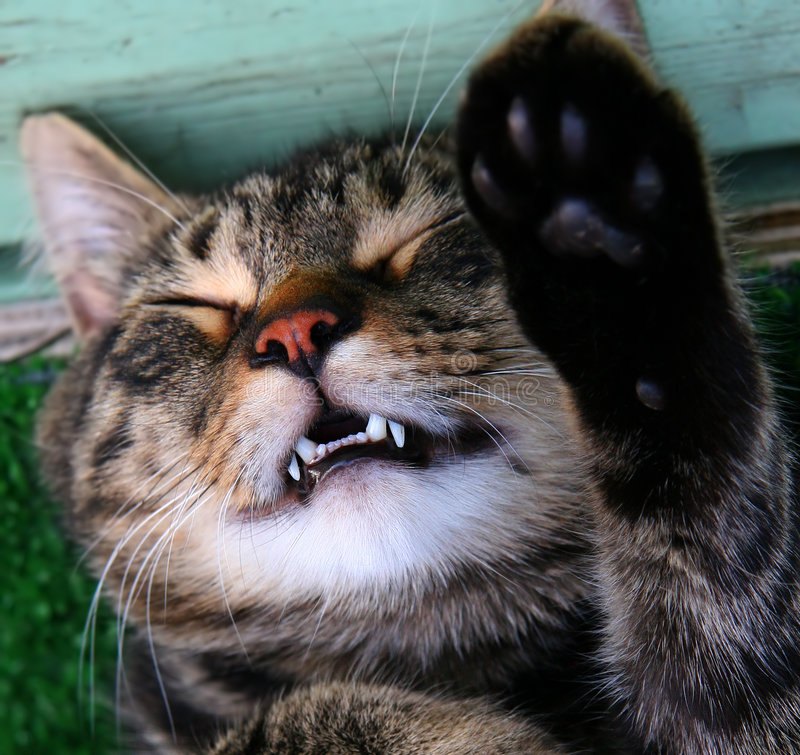 Vampire cat. This is a cat sleeping with its tooth out. Taken in Quebec, Canada stock photo
