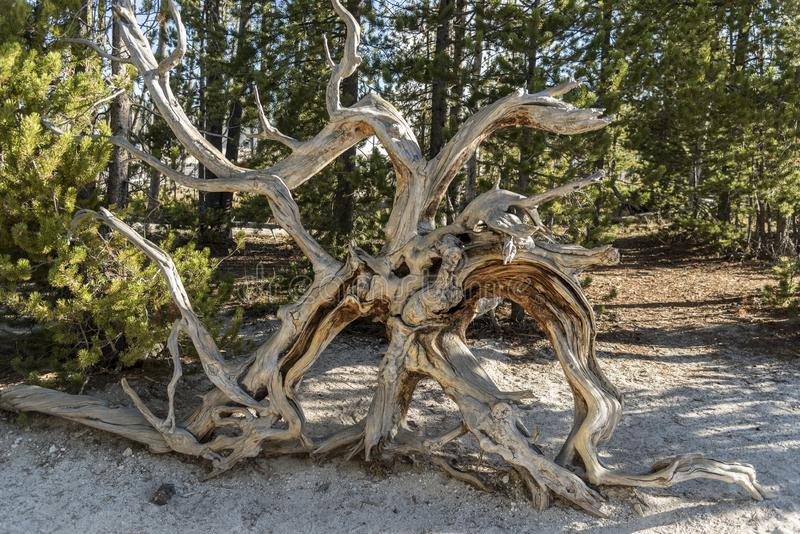 Van angst verstijfde Boomwortel, van de Pottenyellowstone van de Fonteinverf het Nationale Park royalty-vrije stock fotografie