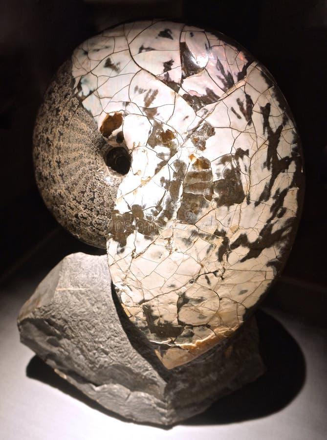 Van angst verstijfde fossiele nautilus van voorhistorische overzees royalty-vrije stock afbeelding