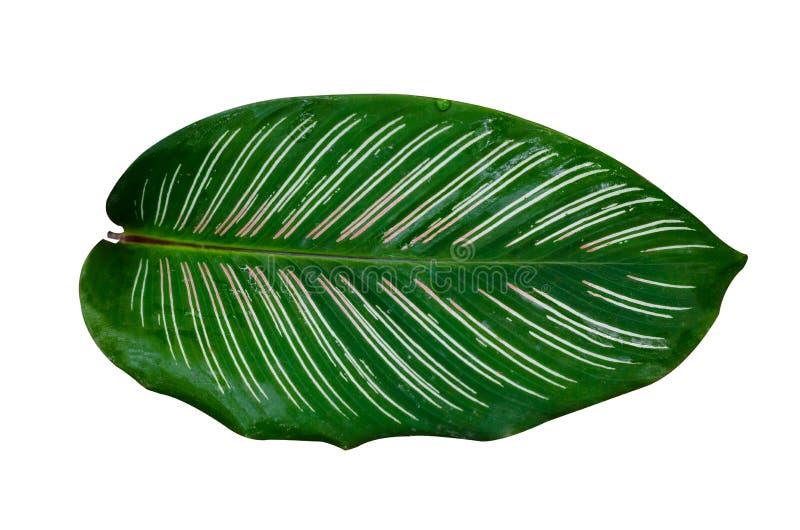 Van de achtergrond ornataspeld van bladerencalathea de streep het Wit isoleert royalty-vrije stock foto