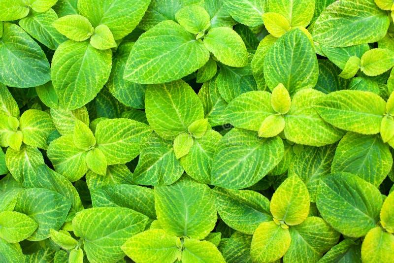 Van de van achtergrond siernetel vat de groene en gele bladeren decoratieve weelderige het gebladertetextuur dichte omhooggaande, royalty-vrije stock afbeelding