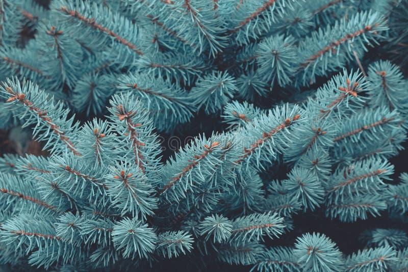 Van de achtergrond winterkerstmis textuur Blauwe nette natuurlijke achtergrond Sluit omhoog van het blauwe nette tak groeien in h royalty-vrije stock afbeeldingen