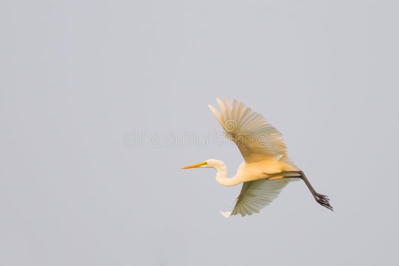Download Van De Aigrette (garzetta Egretta) De Vogel Het Vliegen Stock Foto - Afbeelding bestaande uit ibis, gunst: 29512934