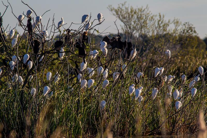 Van de Aigrettebubulcus van het Anhingavee de Ibis garca-Boieira/Carraceiro royalty-vrije stock foto's
