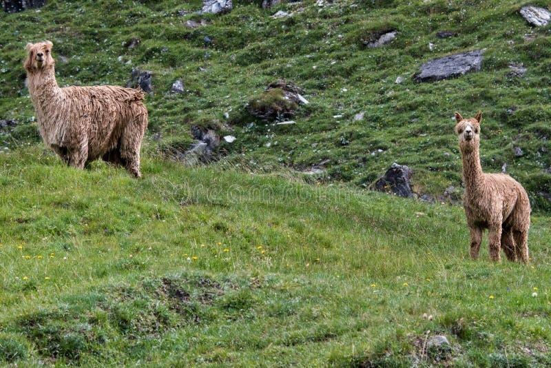 Van de alpacamoeder en baby portret terwijl het bekijken u stock fotografie