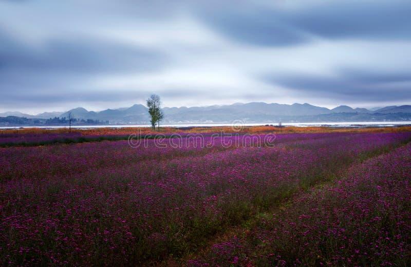 Van de bloem de bloeiende gebieden van de lavendel eindeloze rijen Grasoverzees stock afbeelding