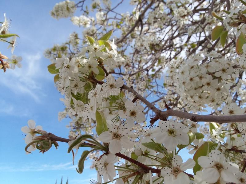 Van de de Bloembloesem van de perenboom de Lente Wit Texas Morning Fruit Sunshine royalty-vrije stock fotografie