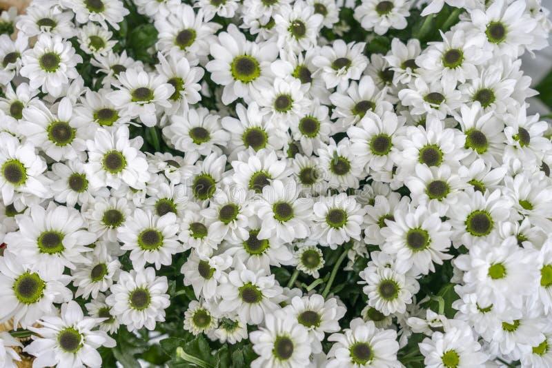 Van de bloemenchrysant het witte Santini Madiba wit van Bush Santini Madiba royalty-vrije stock foto's