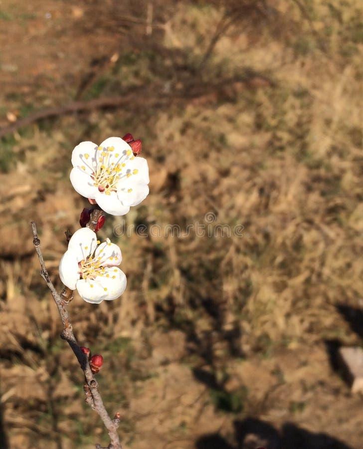 Van de de bloesemlente van abrikozenbloemen de mooie bloem stock afbeelding