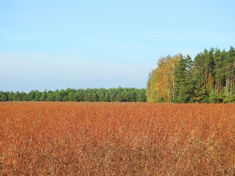 Van de boekweitgebied en herfst bomen, Litouwen stock foto's