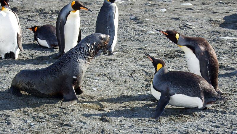 Van de bontverbinding en koning pinguïnafstand houden stock afbeeldingen