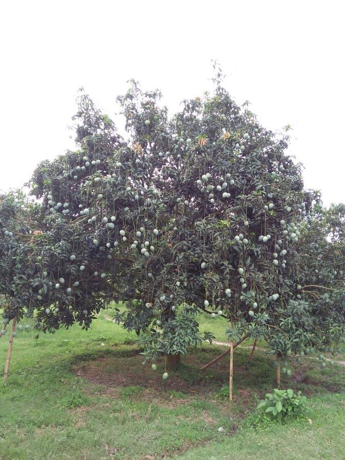 van de de boom zoete mango van de mangomango van de de schoonheidsmango chapai am royalty-vrije stock fotografie