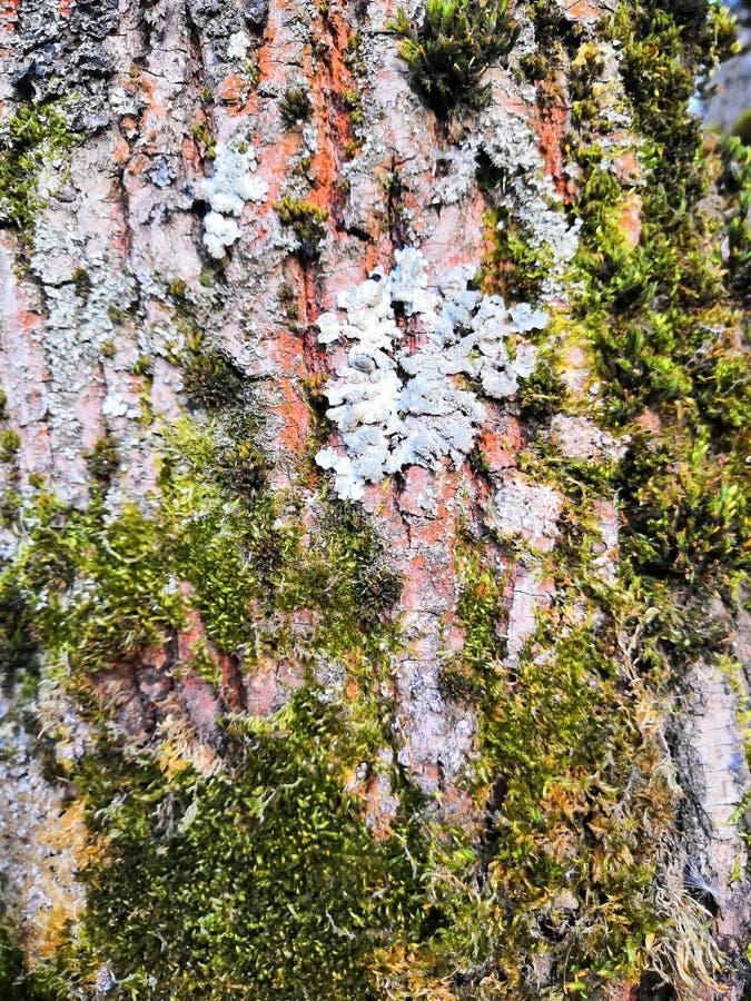 Van de boomschors oude mooie structurele bruine grijze aard als achtergrond royalty-vrije stock fotografie
